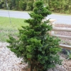 Honoki False Cypress