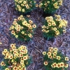 pineapple-coreopsis