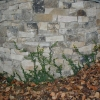 limestone veneer wall with creeping fig growing over it to give it an old world look