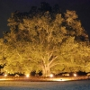 largest uplit tree in NC