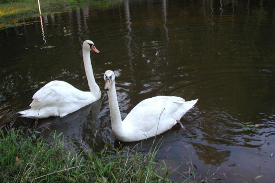 pet swans