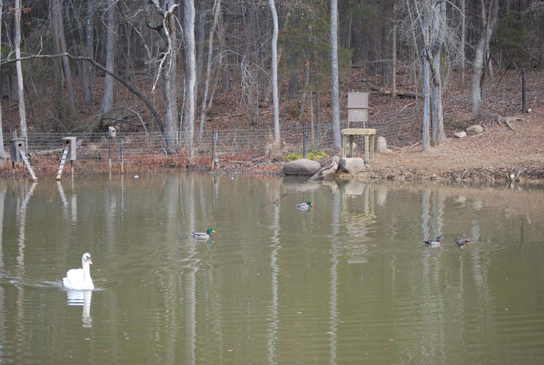 automatic-swan-feeder